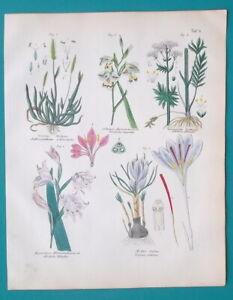 FLOWERS Gladiolus Valerian Crocus Vernal Grass - 1845 H/C COLOR Botanical Print