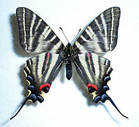 IPHICLIDES PODALIRINUS male from SICHUAN-Border to TIBET