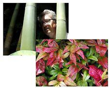 exotische Pflanze Samen Saatgut Gartenpflanzen frosthart RIESEN- + HIMMELSBAMBUS