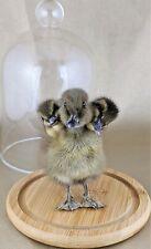 U35b Taxidermy 3 Headed Mixed Duck Glass Dome Display chick bizarre Oddities
