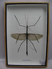 Echtes exotisches Insekt - einmalig   im Schaukasten Holz -  Stabschrecke  male
