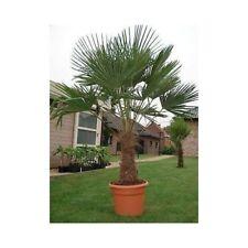 Trachycarpus Fortunei Chusan Palm Chinese Windmill Palm Small Tree Evergreen