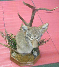 Awesome Brush Wolf Minnesota Coyote Mount taxidermy with Elk antlers horns