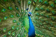 STUNNING COLOURFUL PEACOCK BIRD CANVAS PICTURE POSTER WALL ART UNFRAMED 2360
