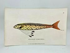 Original 1803 Shaw Hand Colored Copperplate Engraving Fish - Gymnetrus