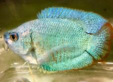 Blue Neon Dwarf Gourami Live Tropical Fish *TANK TO YOUR DOOR SAME DAY DELIVERY*
