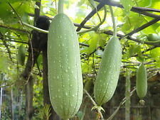 GOURD LUFFA SPONGE 12 SEEDS - GREAT FUN & UNUSUAL