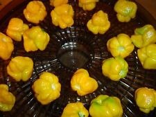 TRINIDAD YELLOW MORUGA BRAIN STRAIN 2ND GEN SEEDS (12+) 2017  FRESH HARVESTED