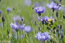 Wild Flower - Cornflower  - 500 Seeds