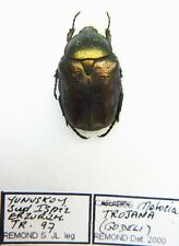 Netocia trojana (1 ex A1) from TURKEY (Cetoniidae)