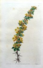 BERBERIS ACTINACANTHA MICHAY Chile Curtis Vintage Antique Botanical Print 1845