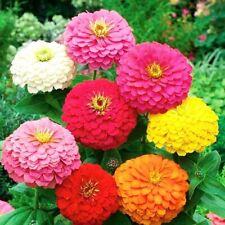 Zinnia gigante flor Dalia variada semillas originales garantizada germinacion