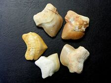 "1/2 "" - 1 1/4 "" Squalicorax Shark Tooth Moroccan Fossil Teeth 5 pcs"