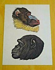 WELCOME TO THE MUSEUM ~ ANIMALIUM POSTCARD ~ MANDRILL & COMMON CHIMPANZEE ~ NEW