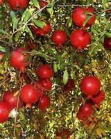 Punicia granatum Pomegranate Wonderful 10 seeds