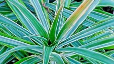 DRACAENA SADERIANA - Ribbon plant Top spike