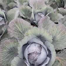 Cabbage - Red Lodero F1 - 30 Seeds