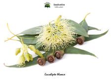 Eucalipto blanco - Eucalyptus globulus - 50 semillas - Seeds