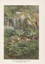 Farne Aspidium Polypodium Moräne Tirol LITHOGRAPHIE von 1898 Botanik