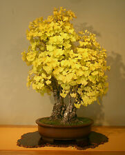 Maidenhair Tree - Ginkgo Biloba  5 seeds * Herbal * Ez grow * Bonsai * CombSH