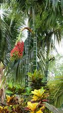 Dypsis pembana - rare tropical palm tree -10 live seedlings