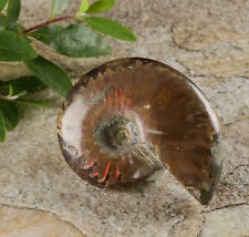 Rainbow Opalized AMMONITE Fossil - One Large Ammonite Shell Fossil E0456