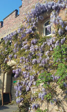 flowering shrub, Chinese Wisteria sinensis, hardy climber plant, blue flowers