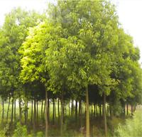Camphor Tree medicinal herb seeds Landscaping evergreen Big leaf 10pcs / lot