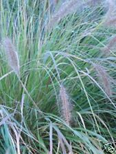 Siergras/Graminée Pennisetum alopecuroides 5 st/pakket