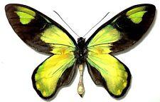 Ornithoptera victoriae victoriae MALE. Guadalcanal is. Solomon islands.RARE!