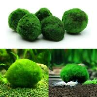 Green Giant Marimo Moss Ball Cladophora Live Aquarium Plant Fish Aquarium Decor