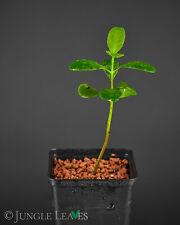 Laguncularia racemosa (Weiße Mangrove) Sumpfpflanze Aquarium Topf