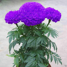 Purple Blue Marigold 25 Seeds,Exotic Flower Seeds,imported Seeds,Free Shipping