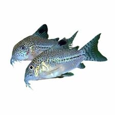 New listing 6 Corydoras (In9) julii with Free shipping in continental U.S