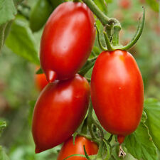 AMISH PASTE TOMATO SEEDS * MEATY * SAUCES * INDETERMINATE YIELDING *