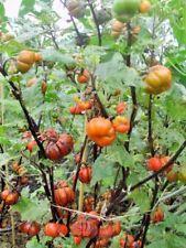 30 PUMPKIN ON A STICK EGGPLANT SEEDS - Solanum integrifolium