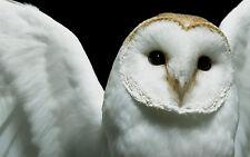 Grande STAMPA INCORNICIATA-BIANCA GUFO faccia completa (foto poster arte uccello animale hunting