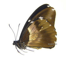 Unmounted Butterfly/Papilionidae - Papilio sjoestedti atavus, FEMALE, A1/A-