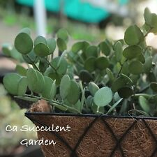 Xerosicyos danguyi – Silver Dollar Plant, Dollar Vine - Rare Succulent Cuttings
