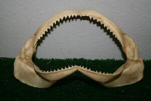"""Shark Jaw Mouth Teeth Bull? 12"""" sharp teeth"""