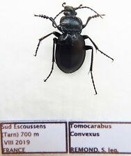 Carabus tomocarabus convexus (male A1) from FRANCE