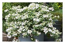 Hydrangea Runaway Bride-Garland Hydrangea Plant in 11 cm pot