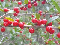 Yaupon Holly | Ilex vomitoria | Native Tea | Florida Grown | 2021 | 15+ Seeds