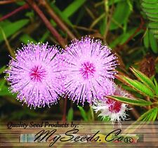 (30) MIMOSA PUDICA SENSITIVE PLANT Flower Seeds - A+ House Plants - Combined S&H