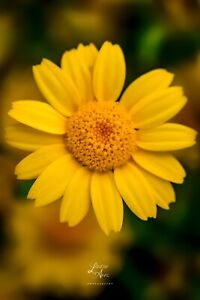 Corn Daisy Yellow Flower Floral Photograph Print Wall Art Décor