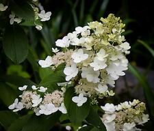 C2   Rispenhortensie Hortensie Hydrangea Paniculata Tardiva 40-60 CM