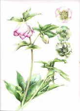 Helleborus hellebore botanical painting original artwork picotee study welsh art
