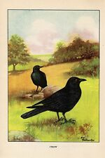 """1926 Vintage TODHUNTER BIRDS """"CROW"""" GORGEOUS 90 YEARS OLD Color Art Lithograph"""