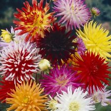 Dahlia - Cactus Flowered Mix (approx 25 seeds) - Bonus Inside