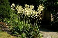"""1 Large Yucca Plant 16-18 Inch Spears White Bell Flower Landscaping 4"""" Tuber"""
